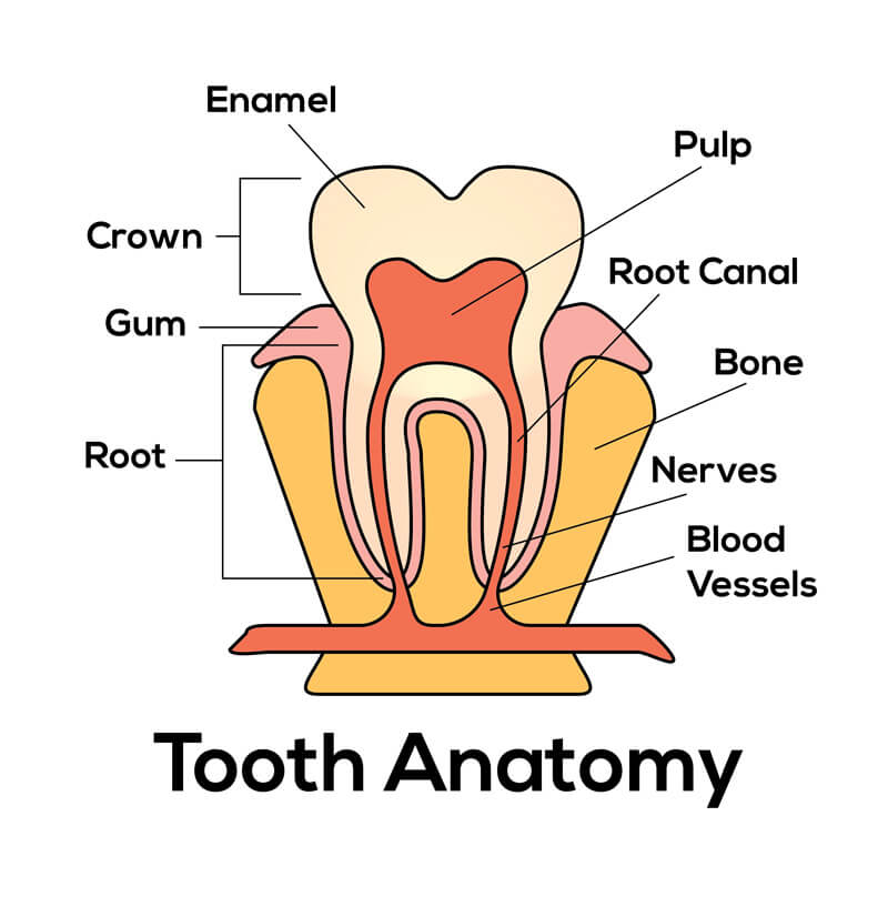 Safety Bay Dental Care Centre Dental Services - Dental Crowns Cross Section Tooth Anatomy